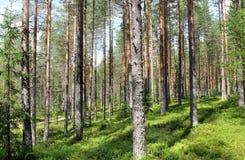 Belle foreste della Finlandia fotografia stock