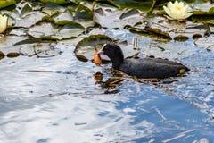 Belle foulque maroule dans un étang avec des nénuphars et un poisson rouge dans son bec images stock