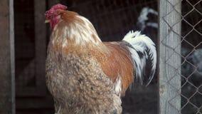 Belle galline rosse all'azienda agricola Paesaggio rurale con il bello pollo Gallinacei nazionali Pollaio video d archivio