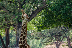 Belle girafe mangeant d'un arbre photo libre de droits