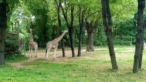 Belle giraffe allo zoo Fotografia Stock