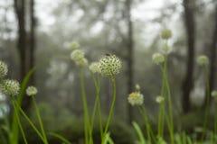 Belle gocce dei fiori e di rugiada di allium tuberosum Fotografie Stock