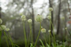 Belle gocce dei fiori e di rugiada di allium tuberosum Fotografia Stock Libera da Diritti
