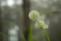 Belle gocce dei fiori e di rugiada di allium tuberosum Fotografia Stock