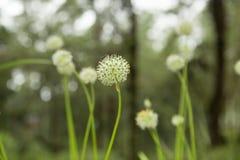 Belle gocce dei fiori e di rugiada di allium tuberosum Fotografie Stock Libere da Diritti