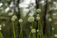 Belle gocce dei fiori e di rugiada di allium tuberosum Immagine Stock Libera da Diritti