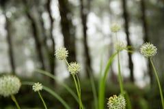 Belle gocce dei fiori e di rugiada di allium tuberosum Immagine Stock