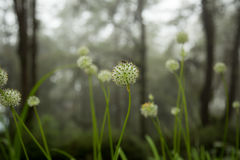 Belle gocce dei fiori e di rugiada di allium tuberosum Immagini Stock