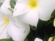 belle gocce di acqua sul fiore bianco di jesmin fotografia stock