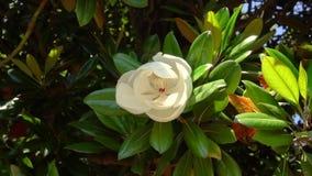 Belle grande fleur blanche sur une branche d'arbre de magnolia banque de vidéos