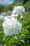 Belle grande pivoine blanche Image stock