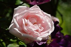 Belle grande rose de rose Photos stock