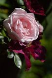 Belle grande rose de rose Photo stock