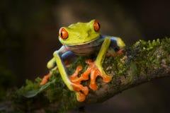 Belle grenouille d'arbre aux yeux rouges de Costa Rica Photographie stock