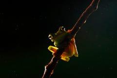 Belle grenouille pendant la nuit Olive Tree Frog, elaeochroa de Scinax, de jungle tropicale de forêt de Costa Rica avec l'animal  photos stock