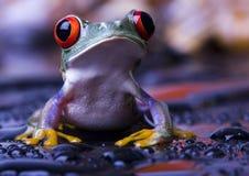 Belle grenouille rouge Images libres de droits