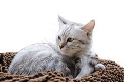 Belle Grey Cat Isolate On White Background Photo libre de droits