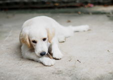Belle grosse fin mignonne blanche drôle de chiot de dimension compacte  Photographie stock