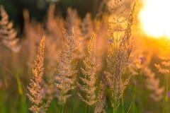 Belle herbe de pré sèche Images stock
