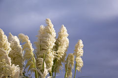 Belle herbe des pampas Photographie stock