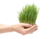 Belle herbe grandissante photographie stock libre de droits