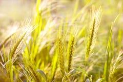 belle herbe verte image libre de droits