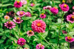 Belle horticulture rose de zinnia dans le jardin Images stock
