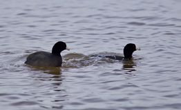Belle image avec deux foulques maroules américaines stupéfiantes dans le lac Image libre de droits