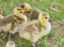 Belle image avec plusieurs poussins drôles mignons des oies de Canada Photos libres de droits