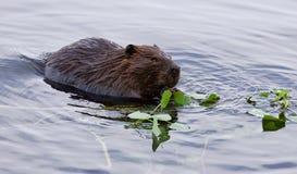 Belle image d'isolement d'un castor mangeant des feuilles dans le lac Image stock