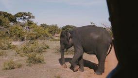 Belle image de l'intérieur de voiture de visite de safari, grand éléphant sauvage creusant la terre avec sa patte dans la savane  banque de vidéos