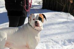 Belle image de la race de chien de Taureau d'Américain se tenant dans la neige Image stock