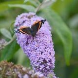Belle image de papillon Vanessa Atalanta d'amiral rouge sur le vibran Photo stock