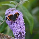 Belle image de papillon Vanessa Atalanta d'amiral rouge sur le vibran Image stock