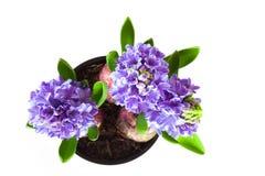Belle jacinthe bleue de fleur dans un pot sur un fond blanc photos stock