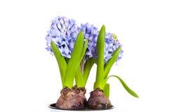 Belle jacinthe bleue de fleur dans un pot sur un fond blanc photographie stock libre de droits
