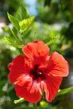 Belle ketmie fleurissante rouge Sabdariffa de ketmie, ketmie esculentus Photographie stock