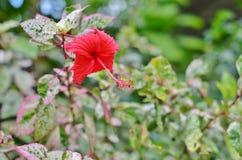 Belle ketmie rouge Photo libre de droits