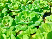 Belle laitue d'eau verte flottant sur l'eau dans l'étang photos stock