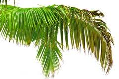 Belle lame de palmier Photographie stock libre de droits