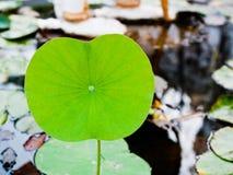 Belle lame de vert de lotus Image libre de droits