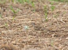 Belle Lark Sparrow avec les inscriptions audacieuses Photos libres de droits