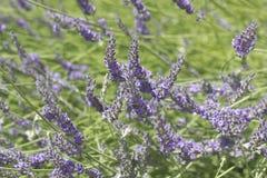 Belle lavande de floraison Images stock