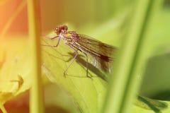 Belle libellule dans l'herbe Portrait d'un insecte photographie stock libre de droits