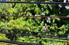 Belle libellule rouge-barbue de prise d'oiseau de bulbul dans la bouche image libre de droits