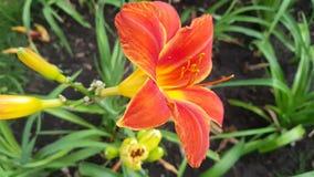 Belle Lily Flower rouge clips vidéos