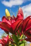 Belle Lily Flowers sur milieux de ciel d'été Photo libre de droits