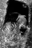 Belle loutre Lisse-enduite noire et blanche photo libre de droits