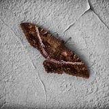 Belle Luna Moth image stock