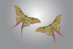 Belle Luna Moth Images libres de droits